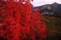 Erable rouge (Gorges du Verdon)