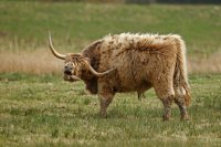 Highland cattle (Baie de Somme)